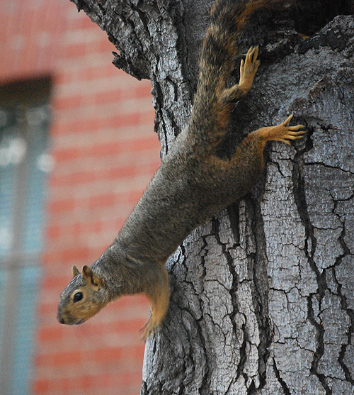 Squirrel USC 1